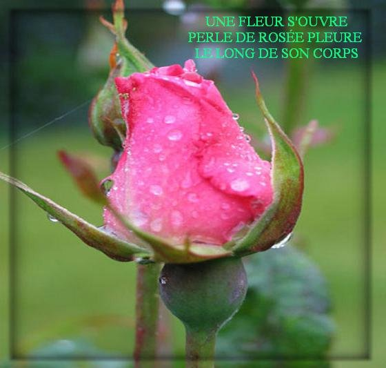 rosecopie.jpg
